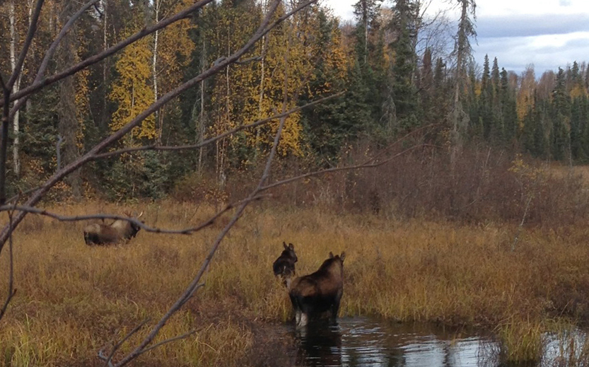 Moose at the pond